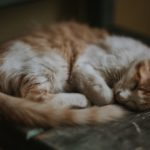Gringer cat curled up a sleep in sepia